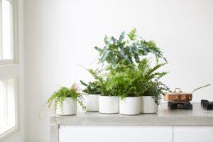Varens in de witte keuken met beton werkblad + PITT cooking – Mooiwatplantendoen.nl